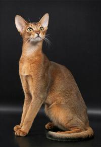 Абисская кошка