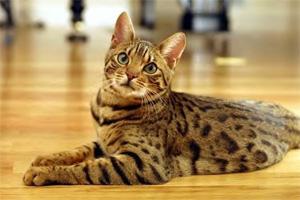 Кошки донские сфинксы бенгальская