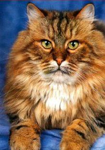 Домашняя порода кошек