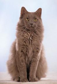 Йоркска шоколадна кішка
