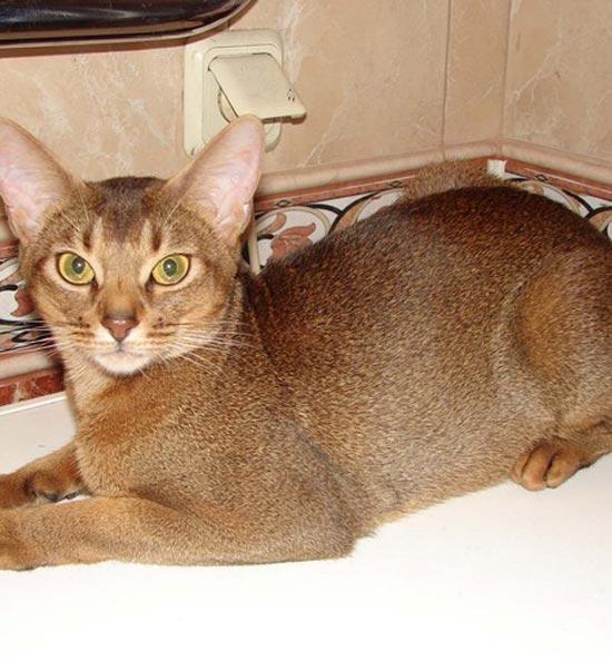 Абиссинская кошка фото фото