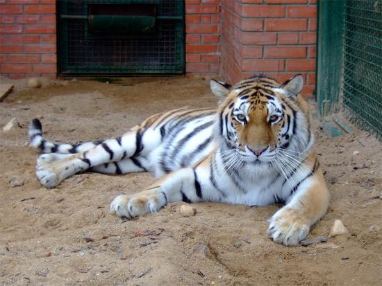 Амурский тигр