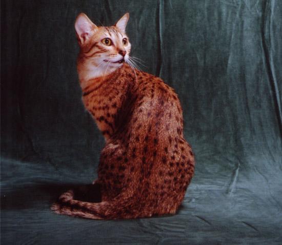 египетская мау кошка фото цена