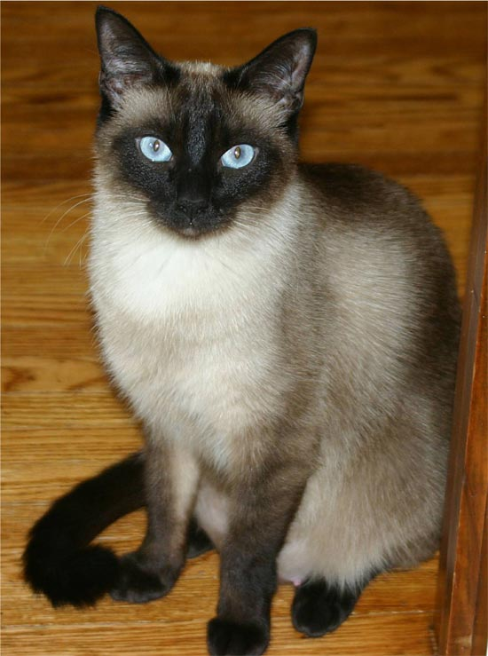 Сиамская кошка фото фотографии