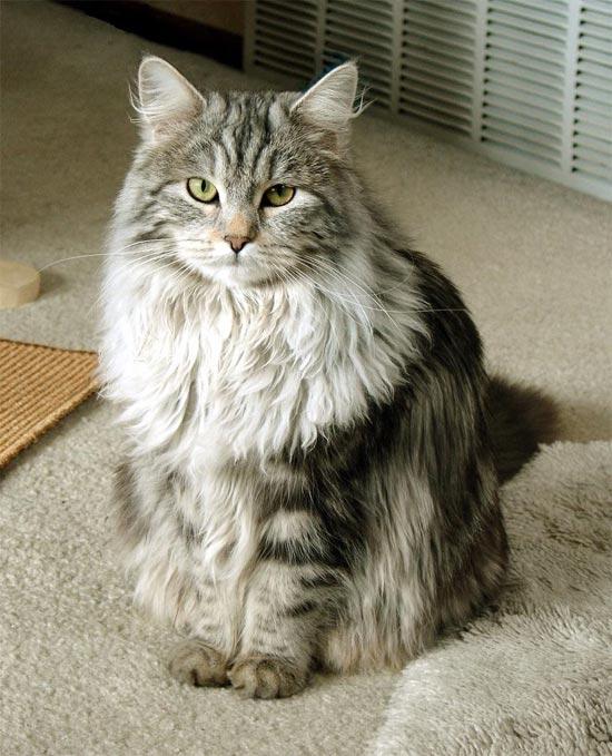 СИБИРСКАЯ КОШКА, порода полудлинношерстных кошек.  Выведена в России.